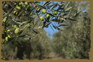 Estate Olive Orchard